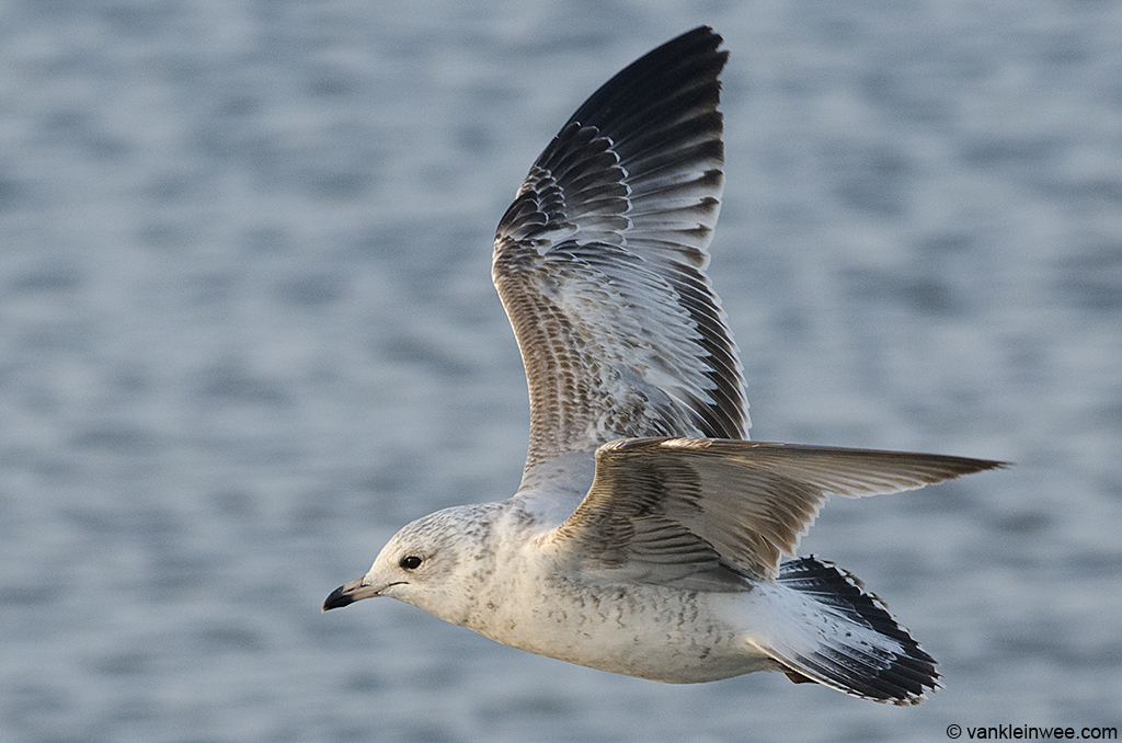 13 February 2014, BP Whiting refinery, Indiana, USA. 2nd-calendar year Ring-billed Gull.