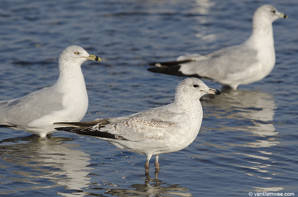 13 February 2014, BP Whiting refinery, Indiana, USA. From left to right: adult, 2nd-calendar year, 3rd-calendar year Ring-billed Gull.