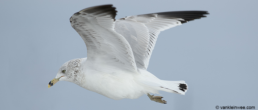 Second-cycle Ring-billed Gull showing the characteristic immature features: dark markings in the tail, secondaries and underwing, and no white tips to the outer primaries. This individual also has no mirror on P10.