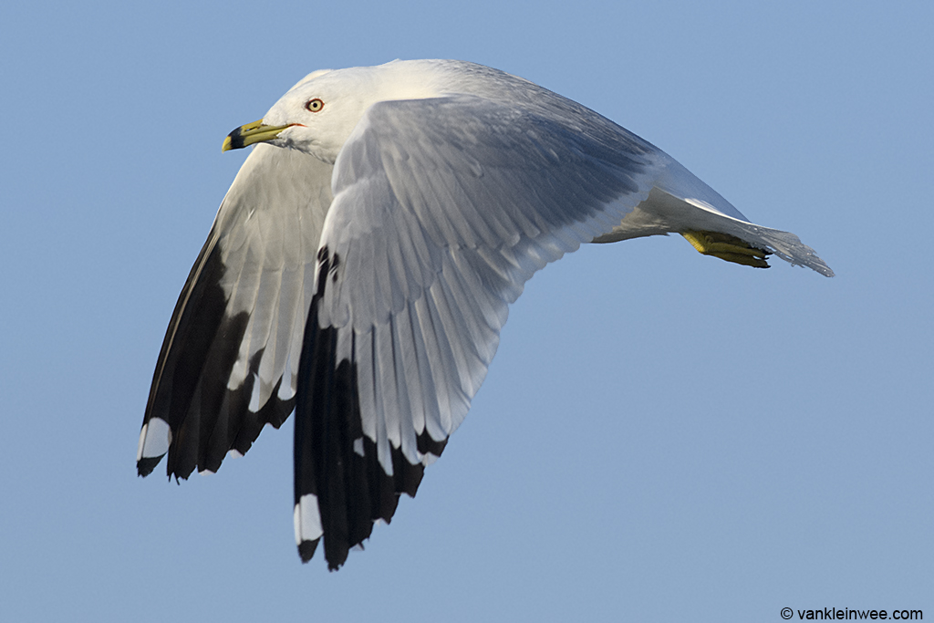 13 February 2014, BP Whiting refinery, Indiana, USA. Adult Ring-billed Gull.