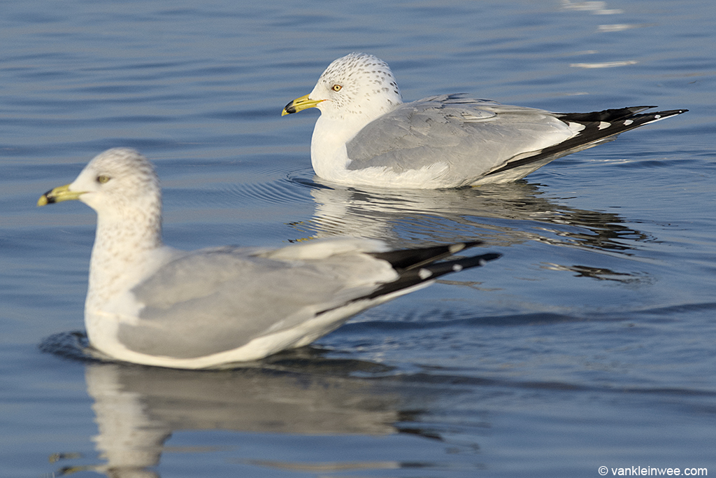 13 February 2014, BP Whiting refinery, Indiana, USA. Adult Ring-billed Gulls.