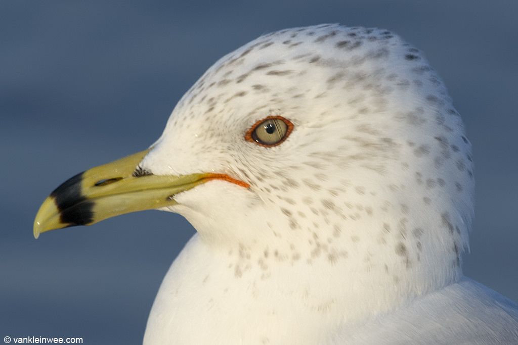 13 February 2014, BP oil refinery, Whiting, Indiana, USA. Adult Ring-billed Gull in basic plumage.