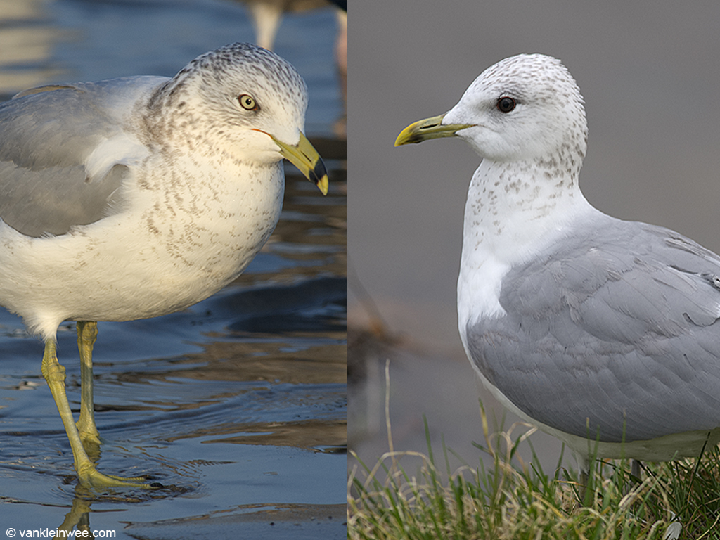 Adult Ring-billed Gull (left) vs adult Common Gull (right)