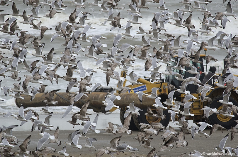 26 January 2014. Herring Gulls were in the majority at Katwijk aan Zee.