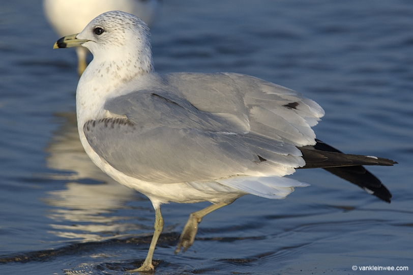 13 February 2014, BP Whiting refinery, Indiana, USA. Third-calendar year Ring-billed Gull with tertial spots.