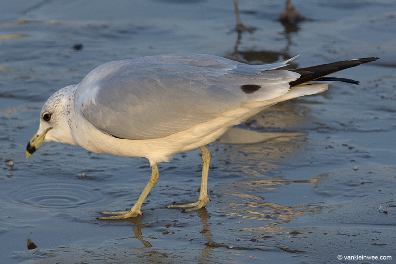 13 February 2014, BP Whiting refinery, Indiana, USA. Third-calendar year Ring-billed Gull with tertial spot.