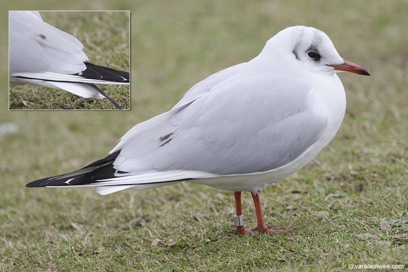 Black-headed Gull, ringed 8 February 2015 in Leiden, the Netherlands as Arnhem 3.659.665 and aged as older than 3rd calendar year. Leiden, 14 February 2015, Leiden, the Netherlands.