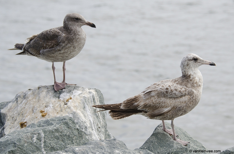 With 2nd-calendar year Western Gull.