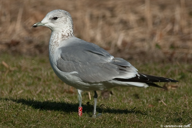 25 February 2012, Amsterdam, the Netherlands. Third-calendar year Common Gull with tertial spots.