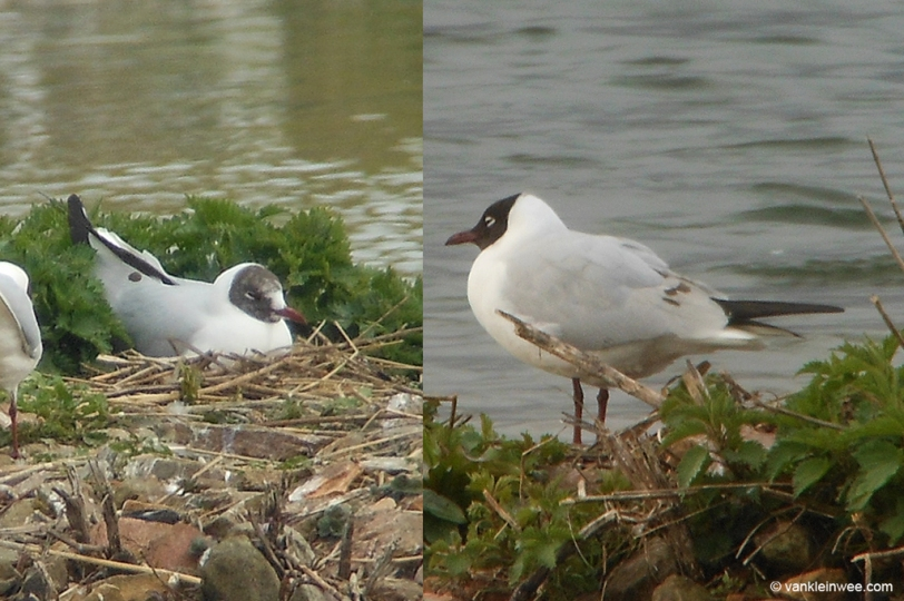 March 2014, Zoetermeer, the Netherlands. A 3rd-calendar year type (left) and adult Black-headed Gull with tertial spots.