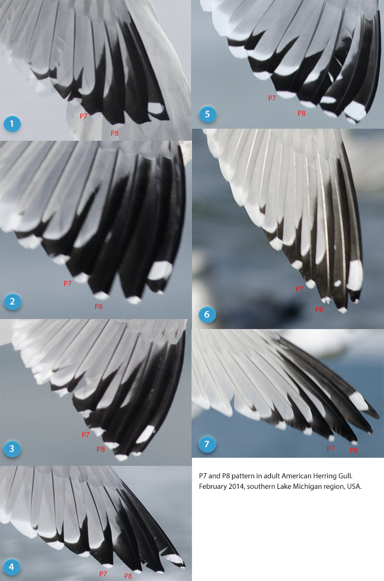P7 and P8 pattern in adult American Herring Gull.