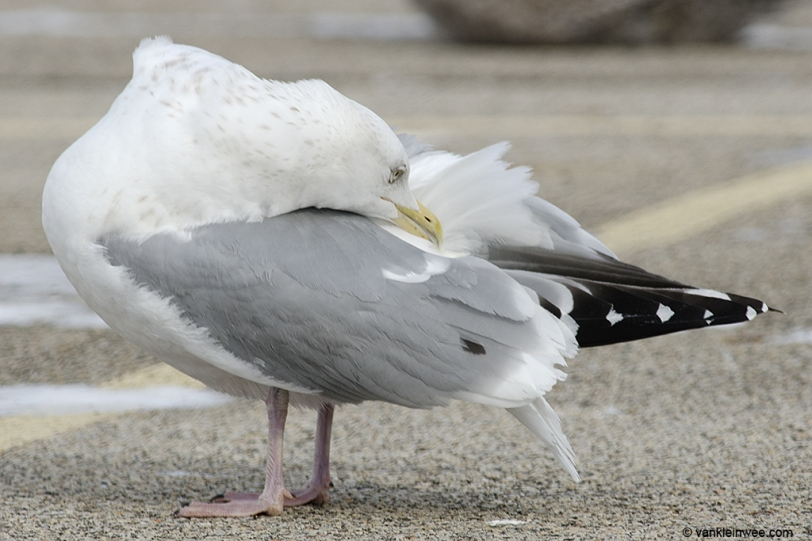 14 February 2014. Lake County Fairground, Libertyville, Illinois, USA. Adult type American Herring Gull , with a large tertial spot.
