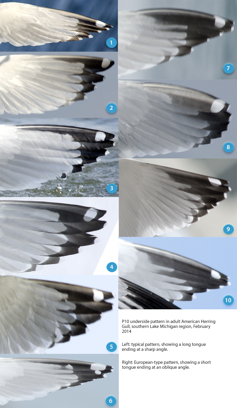 Under side of P10 in American Herring Gulls.