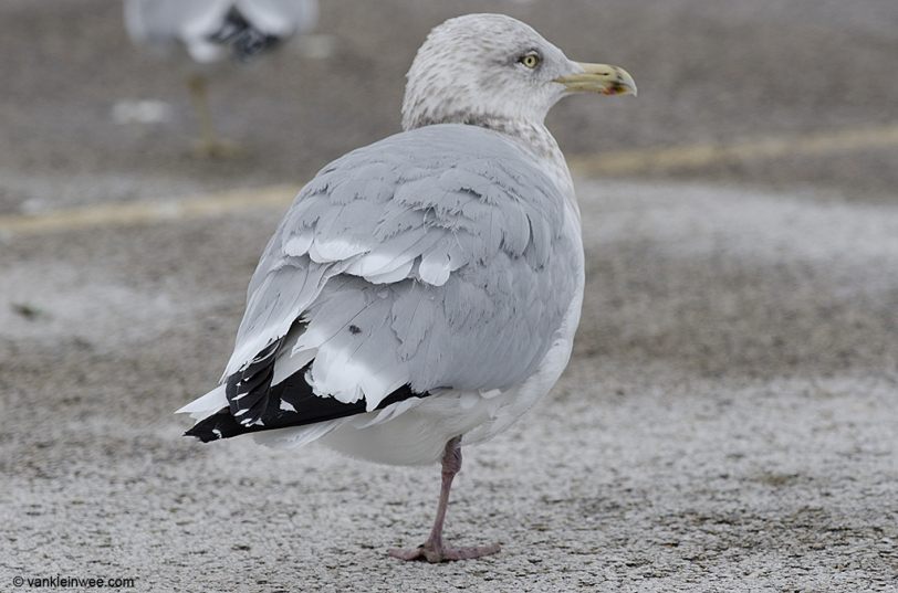 14 February 2014. Lake County Fairground, Libertyville, Illinois, USA. Sub-adult type American Herring Gull (based on the amount of head streaking and black mark on the bill), with a small spot on the right side only.