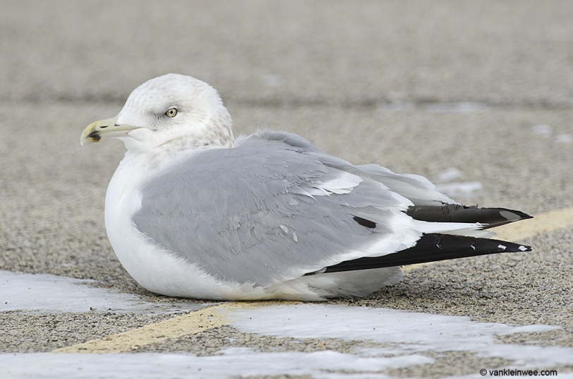 14 February 2014. Lake County Fairground, Libertyville, Illinois, USA. Sub-adult type American Herring Gull (based on the amount of head streaking and black mark on the bill), with a large tertial spot.