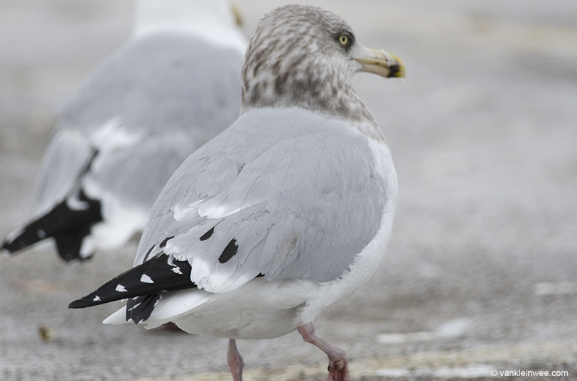 14 February 2014. Lake County Fairground, Libertyville, Illinois, USA. 4th-calendar year type American Herring Gull with large tertial spots.