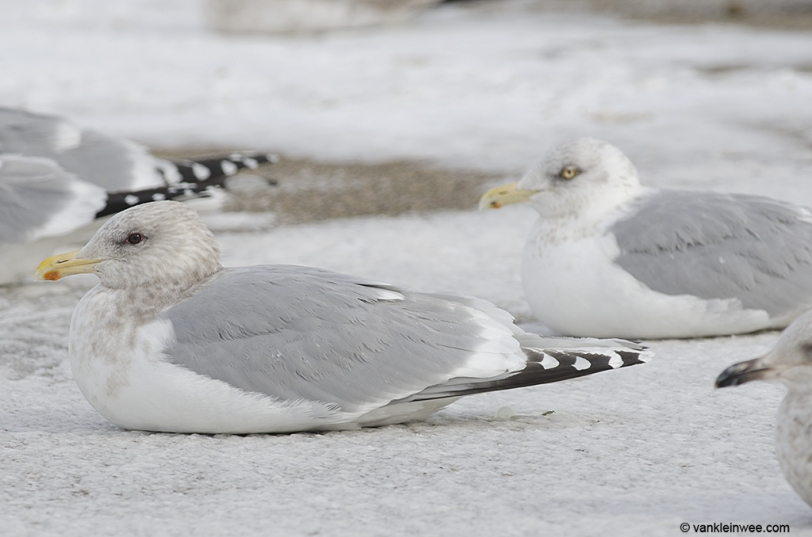 With American Herring Gull (right)