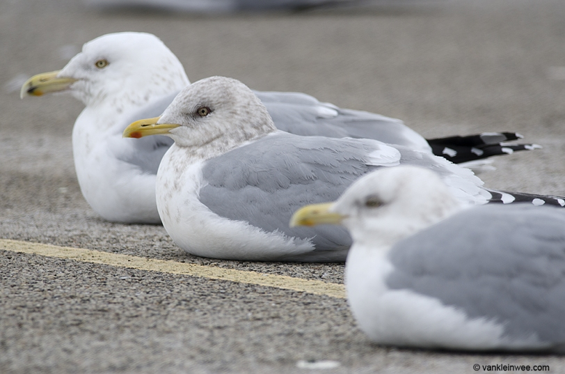 Between American Herring Gulls.