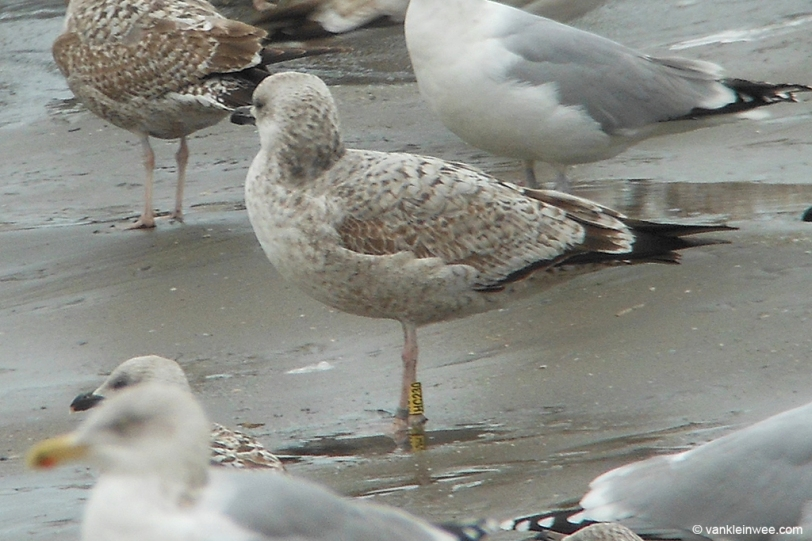 26 January 2014. One of the most interesting gulls that was seen was this 2nd-calendar year Caspian Gull ringed in the Belarus.