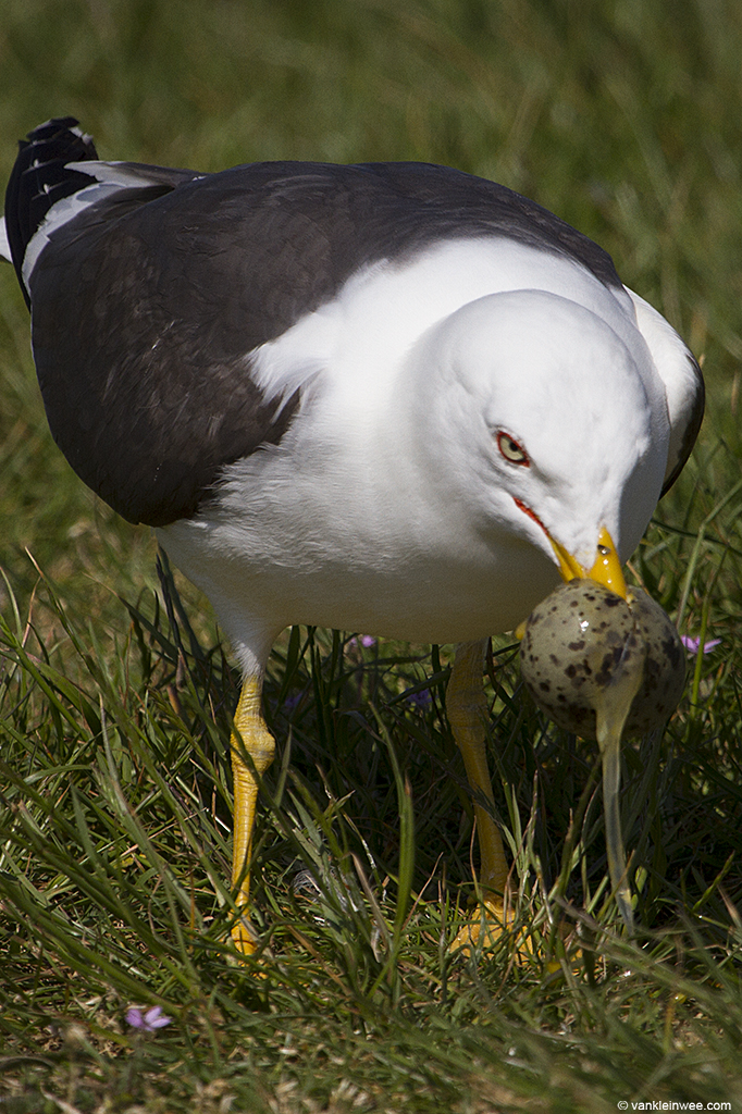 egg-predation-forteiland-20140519-7