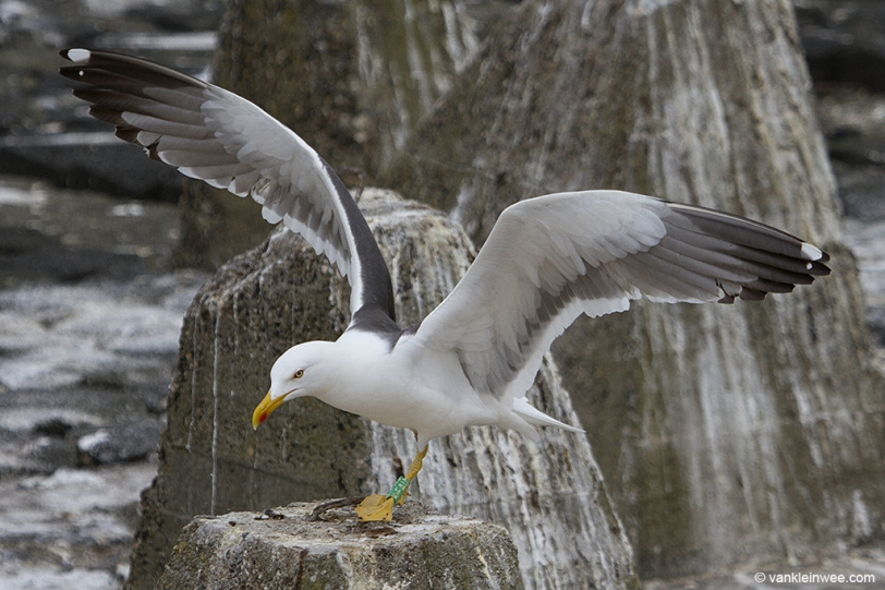 Green K.FAU, ringed in the gull colony of Texel as a pullus in 2007 but now breeding in IJmuiden.
