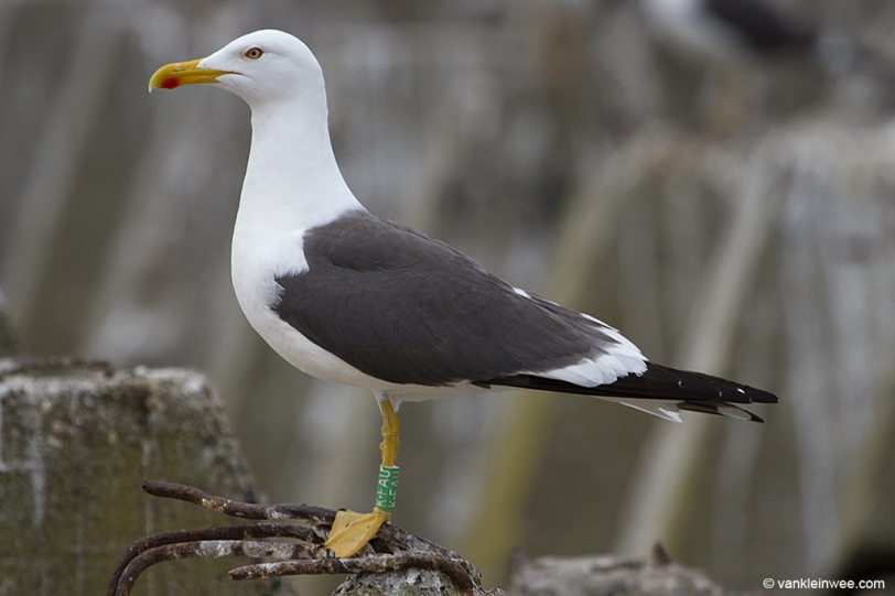 Green K.FAU, ringed in the gull colony of Texel but now breeding in IJmuiden.