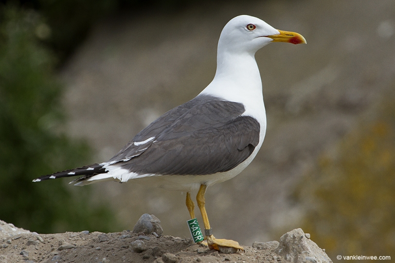 Green Y.ASR, ringed as an adult in May 2010.
