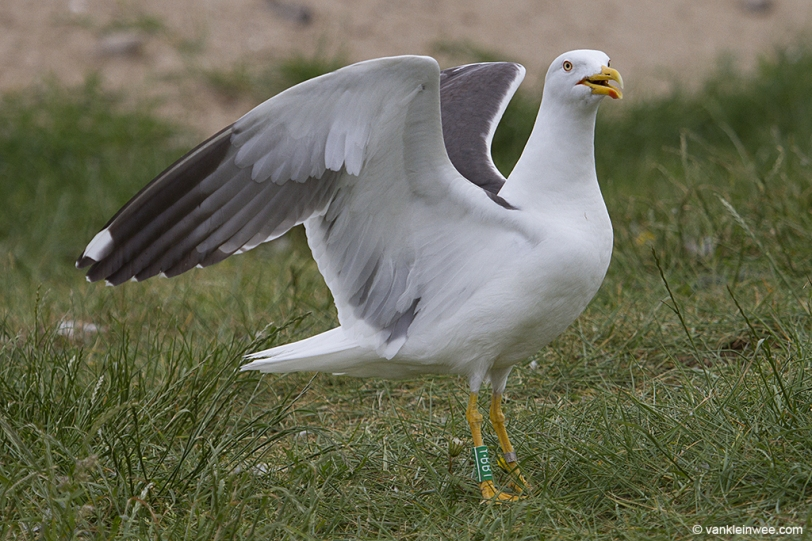 Green Y.BBT, ringed as an adult in May 2012.
