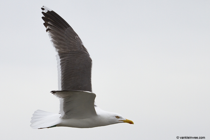 Green Y.BJF, ringed as an adult in May 2013.