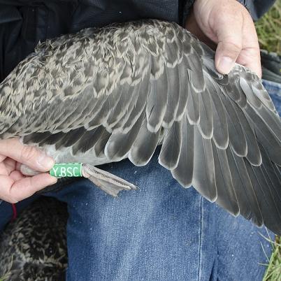 Lesser Black-backed Gull in juvenile plumage.