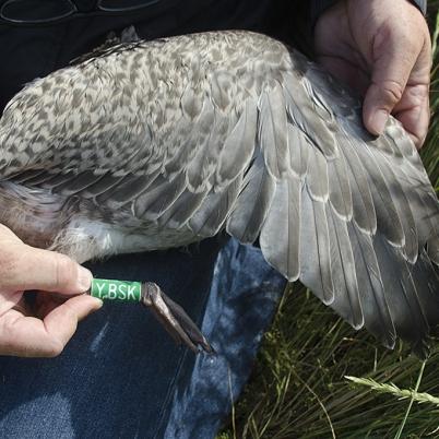 European Herring Gull in juvenile plumage.