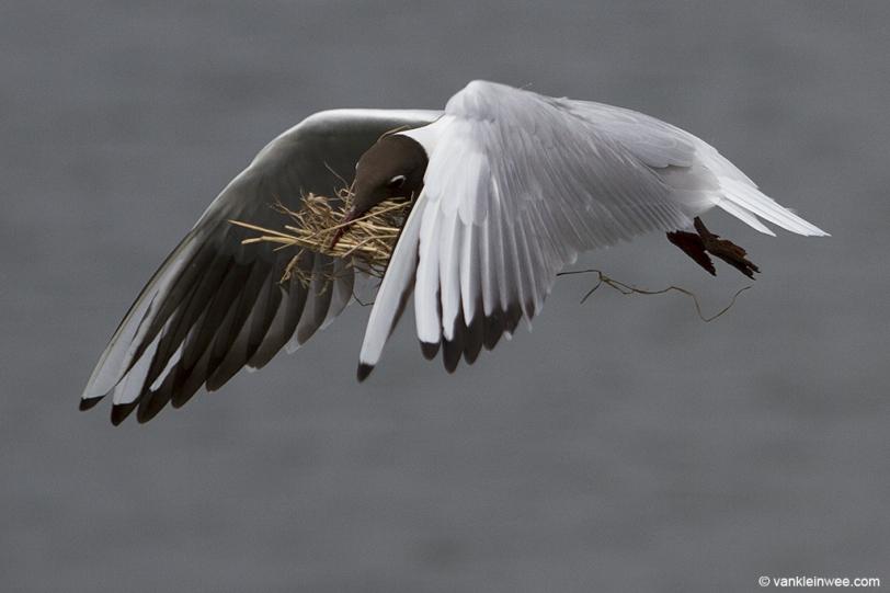 ridibundus-nesting-material-20140426