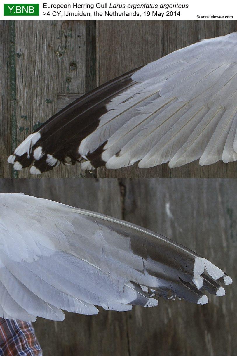 wing-pattern-YBNB-2014