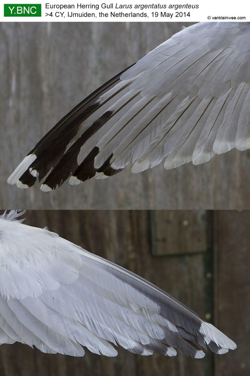 wing-pattern-YBNC-2014