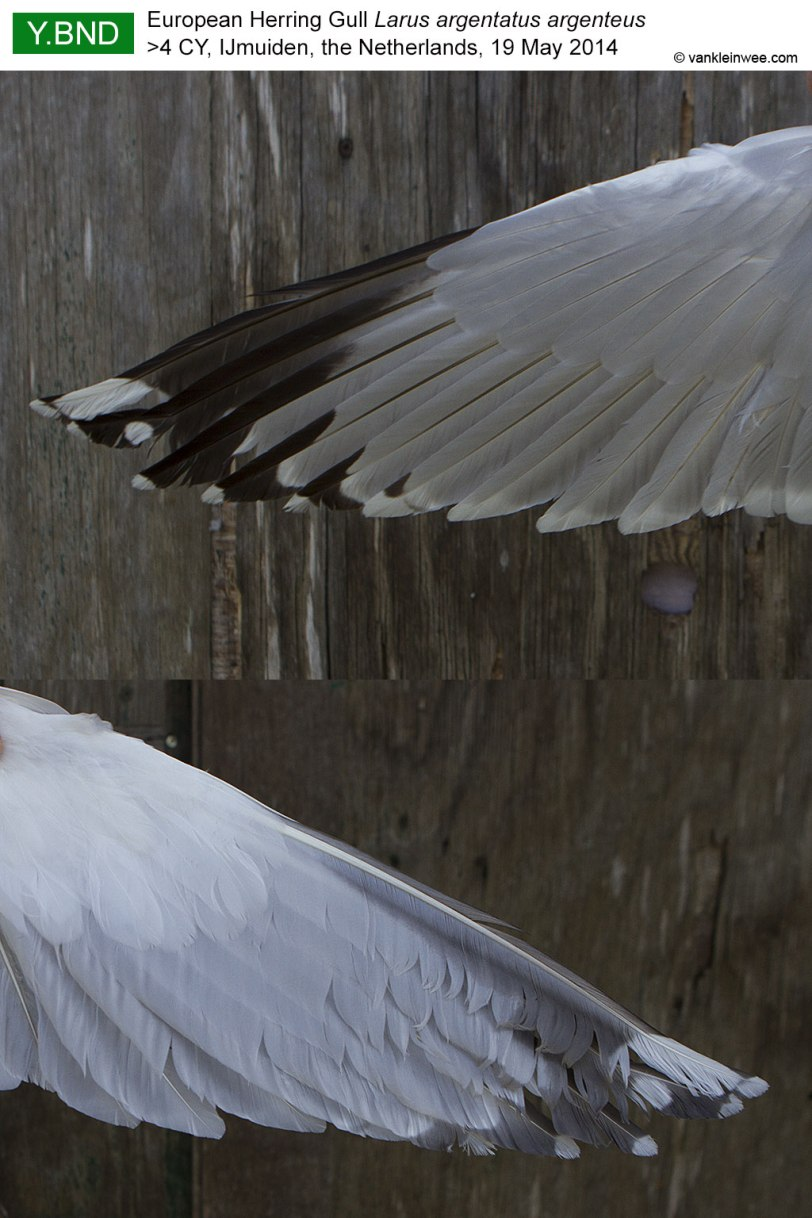 wing-pattern-YBND-2014