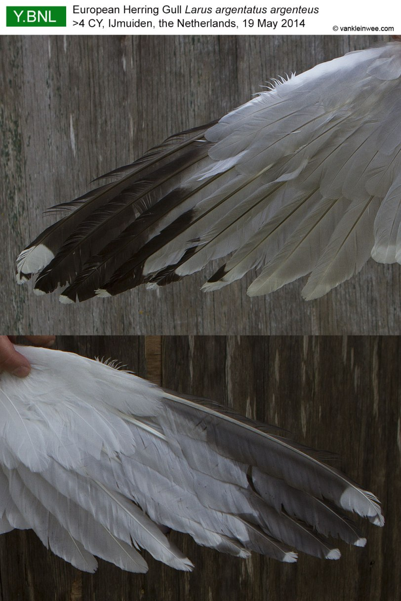 wing-pattern-YBNL-2014