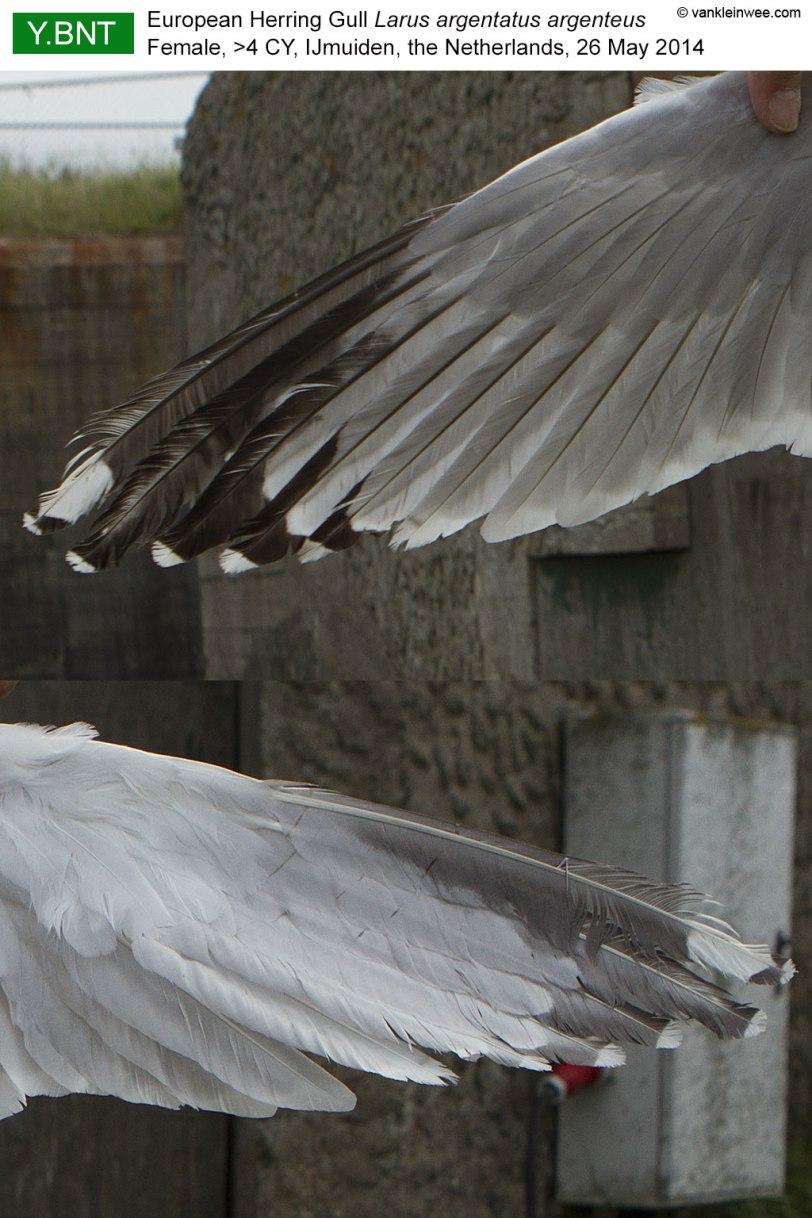 wing-pattern-YBNT-2014