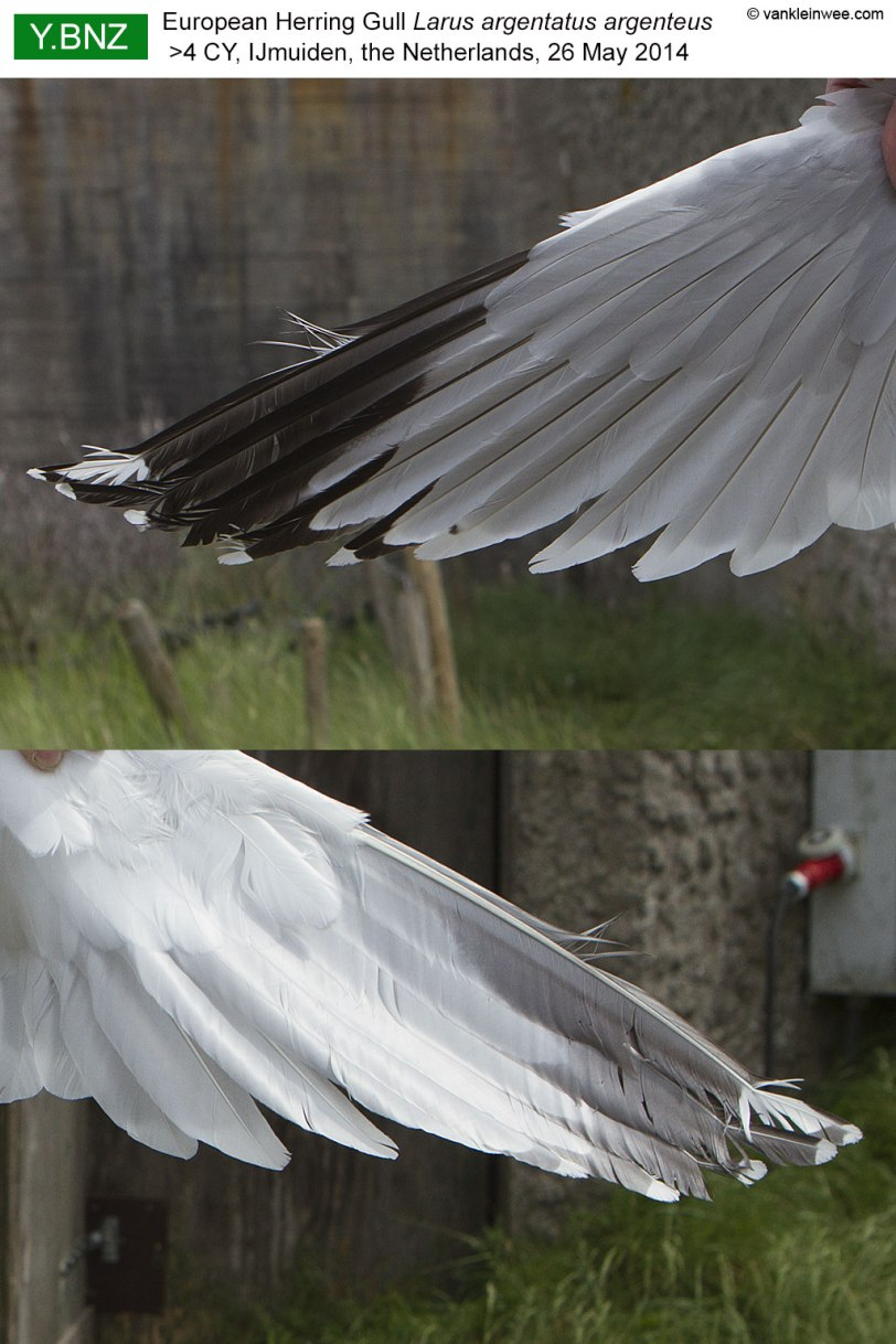 wing-pattern-YBNZ-2014