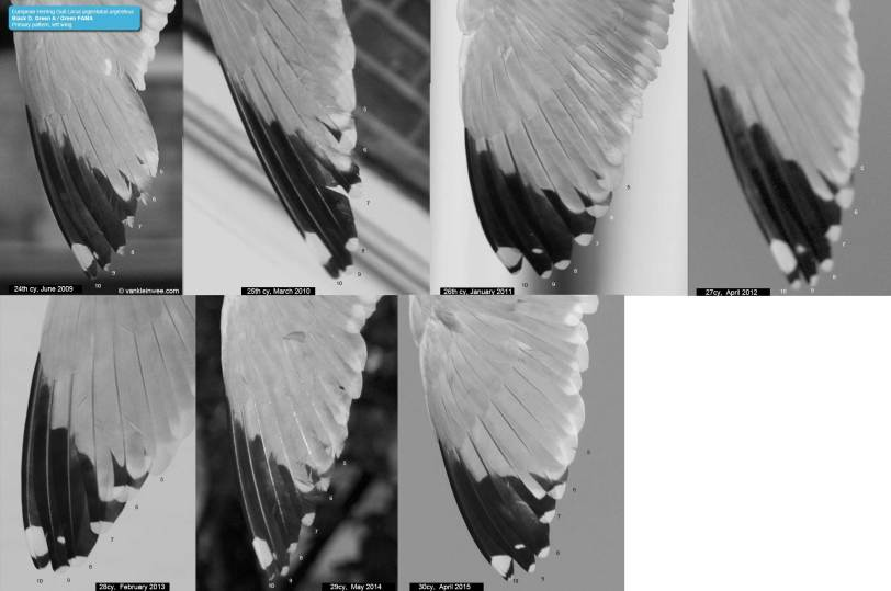 ZDGA_primary_pattern_left_wing