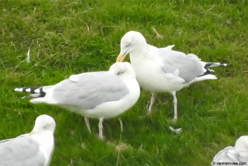herring-gull-feeding-on-lice-20151114