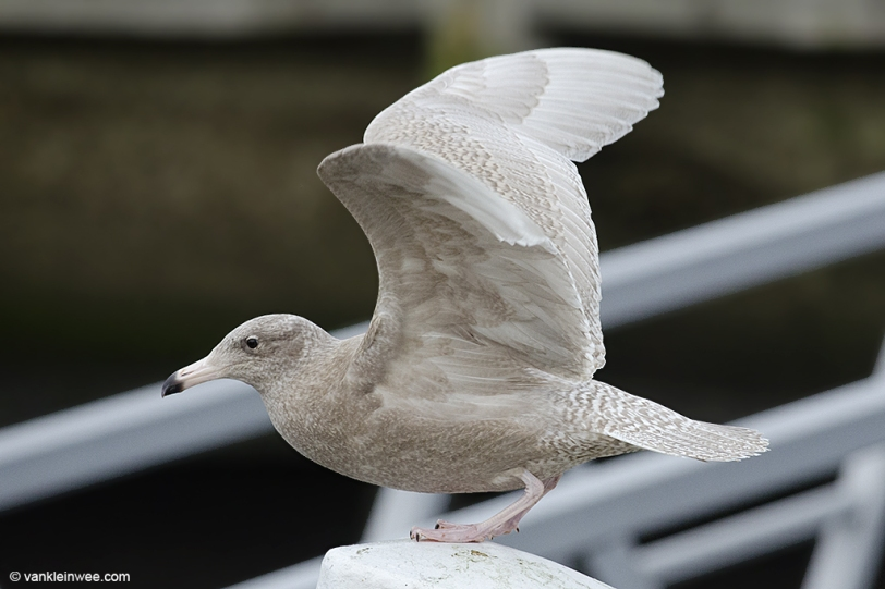 1CY Glaucous Gull - 20151225-4