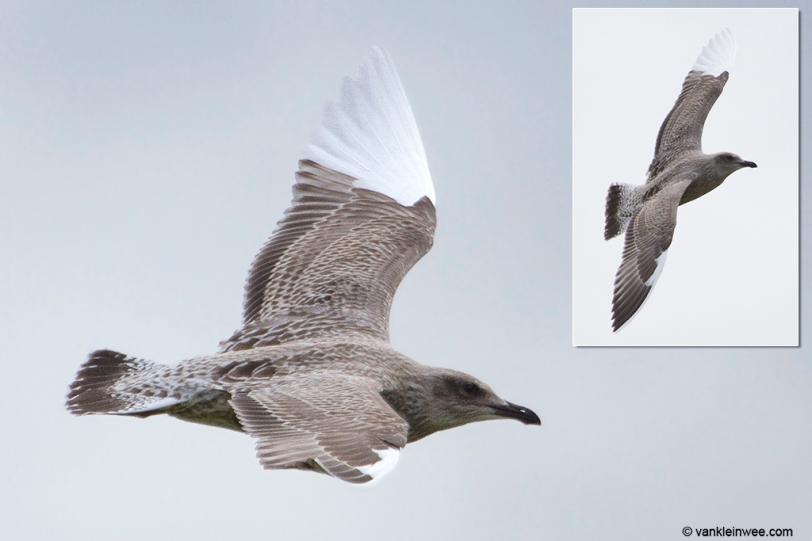 leucistic-herring-gull-1cy-20160805-1