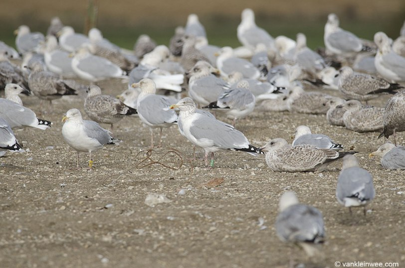 ringed-gulls-blaringhem-october-2016