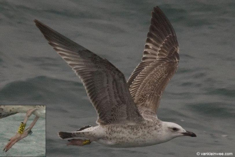 caspian-gull-1cy-ypapb_4063375071_o