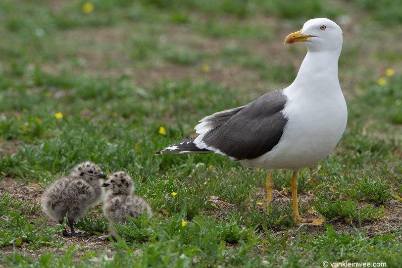 LBBG-chicks-03-June-2019-IJmuiden-Forteiland-Maarten-van-Kleinwee-1